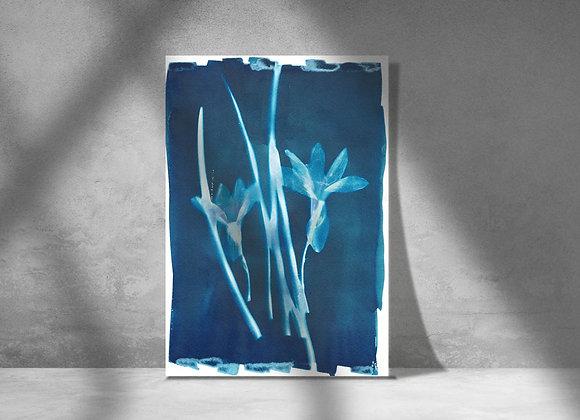 Lilies Cyanotype Photograph