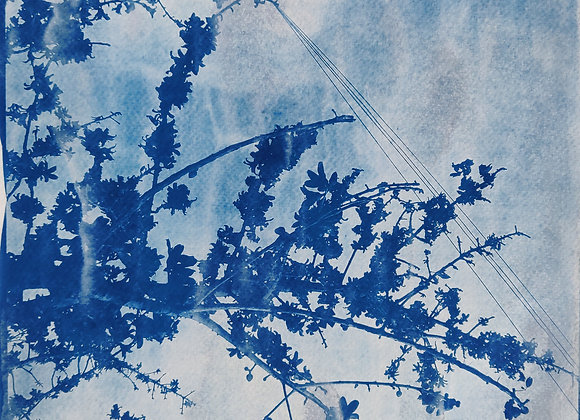 Silk Cotton tree Cyanotype Photograph