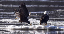 L4 - Wintering Bald Eagles on the Missis