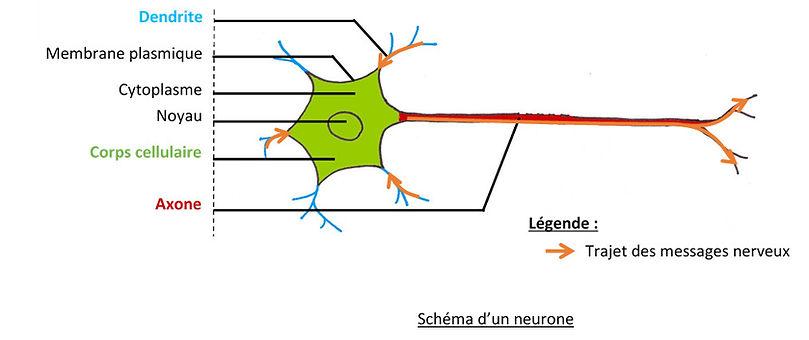 Schéma_neurone.jpg