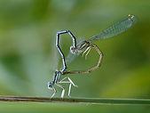 Reproduction libellules.jpg