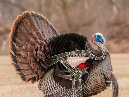 Where To Aim When Bowhunting Turkey