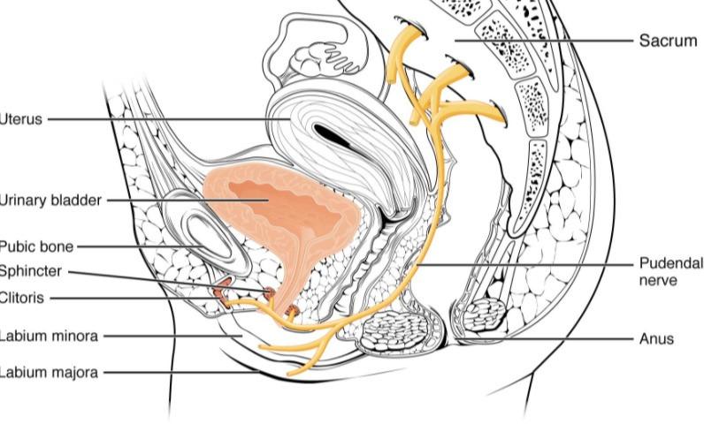 Aqui vemos o nervo pudendo em seu trajeto