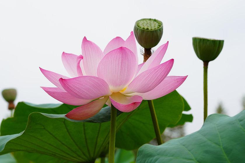lotus-Jeasung An.jpg