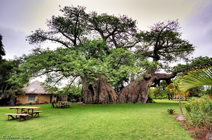 south africa baobob