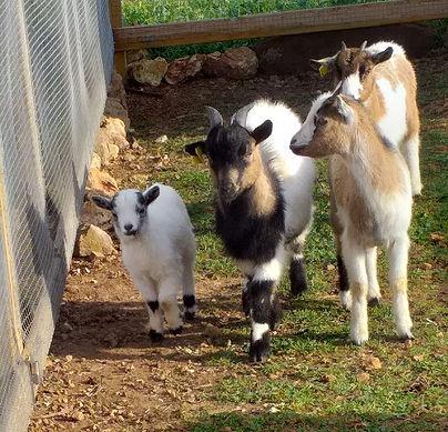 goats llimpet