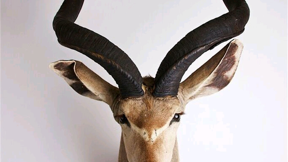 Greater Kudu head and shoulders