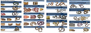 Sea snake of Kimberley_Somaweera.jpg