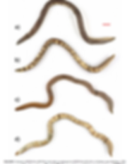 Uropeltids.PNG