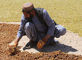 Raisins are produced by drying harvested grape berries in Ziaratjah village, Herat, Afghanistan, September 14, 2021