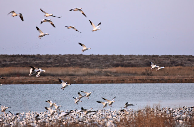 Waterfowl in flight