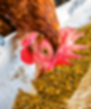 Chicken eating feed