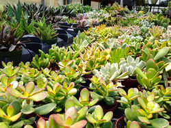 Stunning selection of succulents