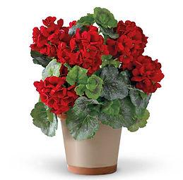 Red Geranium .jpg