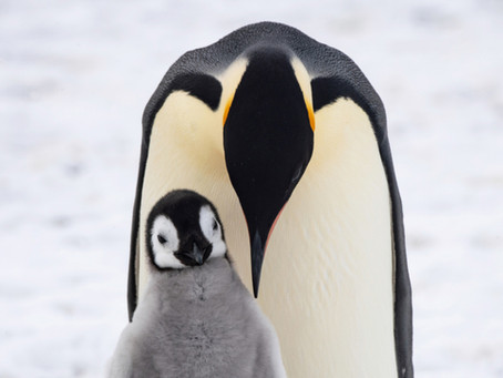 Penguin Species Series #9 - The Emperor Penguin