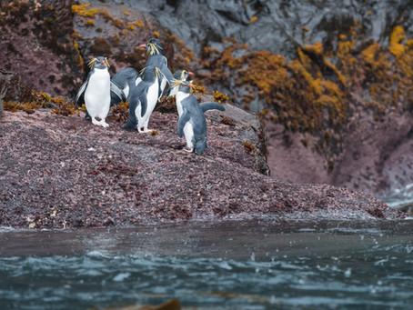 Penguin Species Series #18 - The Northern Rockhopper Penguin