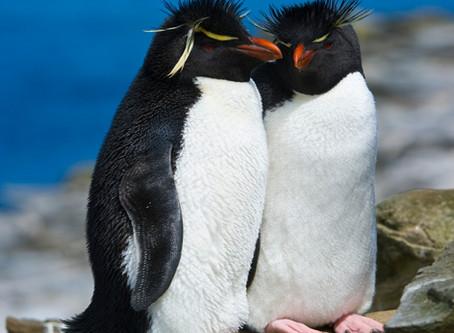 Penguin Species Series #8 - The Southern Rockhopper Penguin