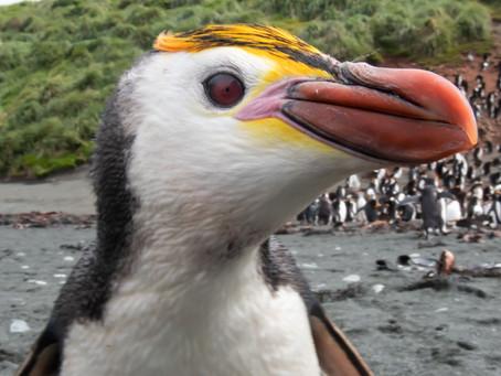 Penguin Species Series #13 - The Royal Penguin