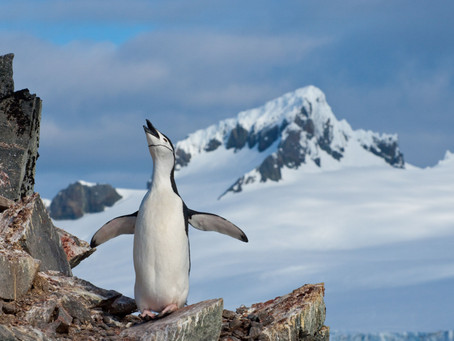 Penguin Species Series #3 - The Chinstrap Penguin
