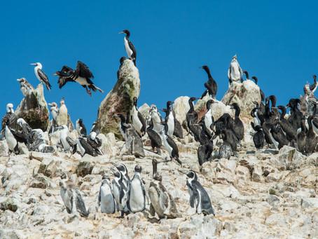 Penguin Species Series #17 - The Humboldt Penguin