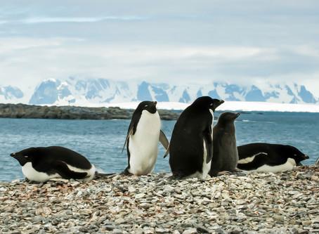 Penguin Species Series #6 - The Adélie  Penguin