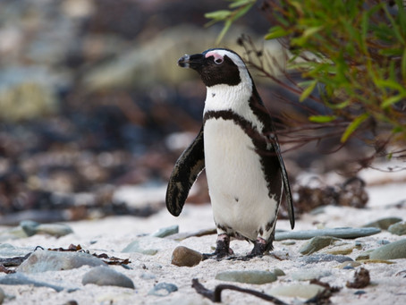 Penguin Species Series #10 - The African Penguin