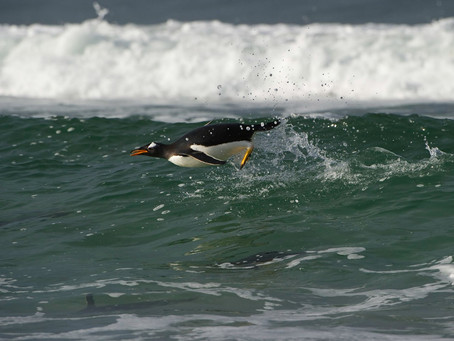 Penguin Species Series #4 - The Gentoo Penguin