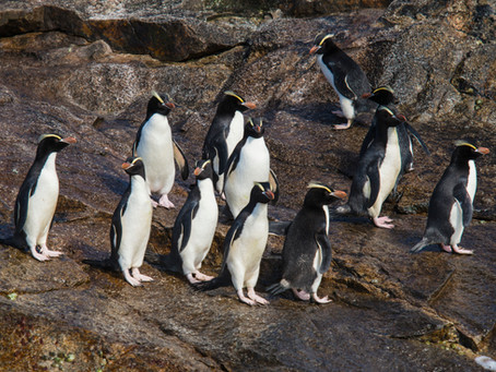 Penguin Species Series #12 - The Erect-crested Penguin
