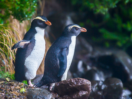Penguin Species Series #11 - The Fiordland Penguin