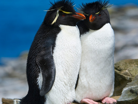 Penguin Species Series #8 - The Southern Rockhopper Penguin