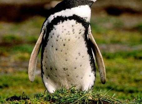 Penguin Species Series #2 - The Magellanic Penguin