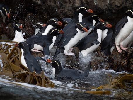 Penguin Species Series #15 - The Snares Penguin