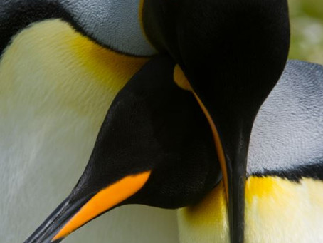 Penguin Species Series #7 - The King Penguin