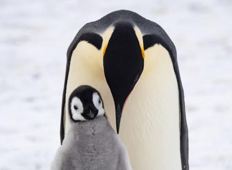 Penguin Species Series #9 - The Emperor Penguin