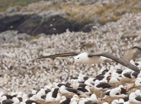 Albatross Colony at Steele Jason Island