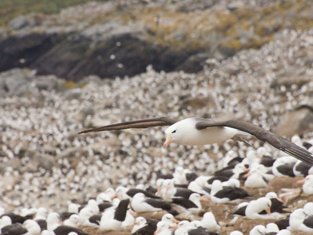 Albatross Colony at Steele Jason Island
