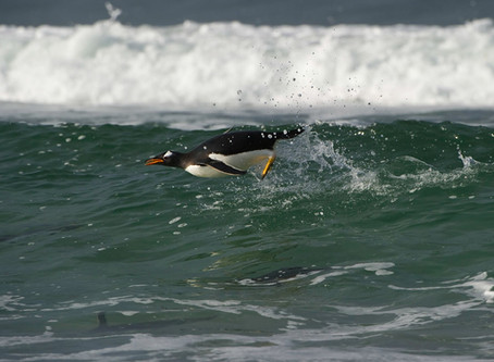 Penguin Species Series #4 - The Gentoo Penguin