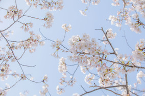 Cherry Blossoms In Nagasaki, Tateyama Park