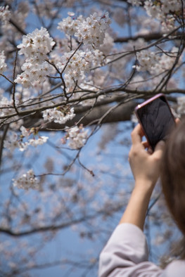 Night time sakura viewing is also recommended