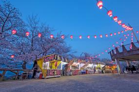 Transient, Yet Beautiful Life Of Sakura Blossomes