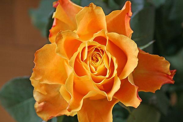 Rose klein.jpg