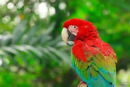 red and green macaw.jpg