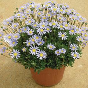 Felicia (Felicia amelloides FeliciTARA® Blue)