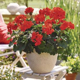Geranium (Pelargonium zon. Castello Ronja) Rood