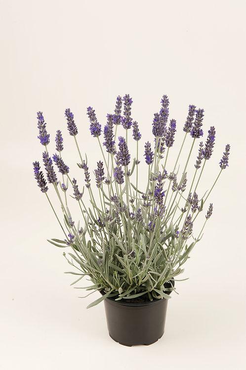 Lavendel laag (Lavandula P9)