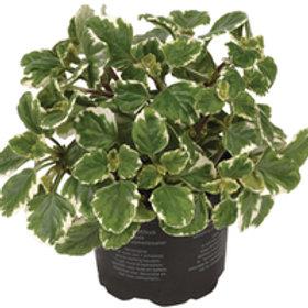 Plectranthus (Wierookplant) Plectranthus coleoides
