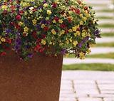 petunia 3kleur.jpg