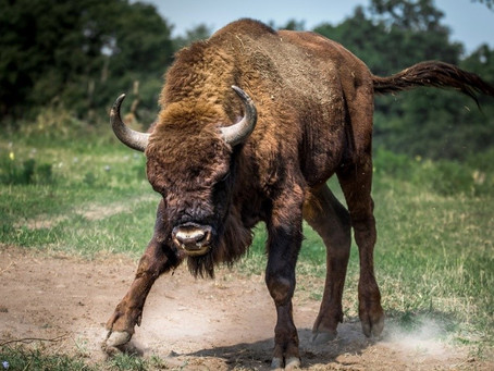 The wild bison returns... but that's not the point