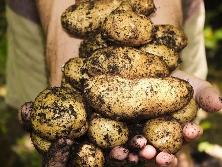 Dirty potatoes make a comeback!