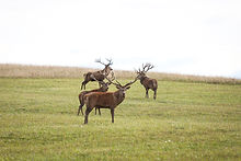Countryside view with deers walking in s